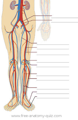 The Circulatory System (lower body) Image
