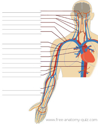 The Circulatory System (upper body) Image