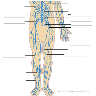 Free Anatomy Quiz - The nervous System (lower body) Image