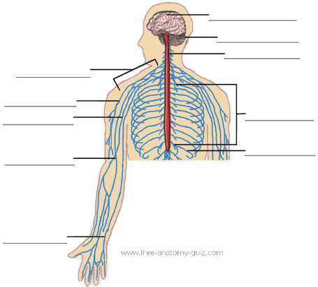 Free Anatomy Quiz - The nervous System (upper body) Image