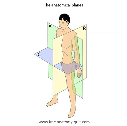 the anatomical planes