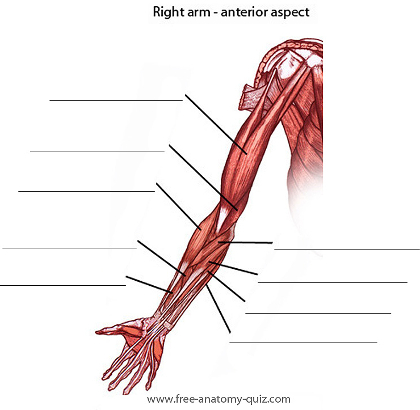 free anatomy quiz - the muscles of the arm (anterior) image, Human body