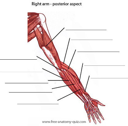 free anatomy quiz - the muscles of the arm (posterior) image, Cephalic Vein