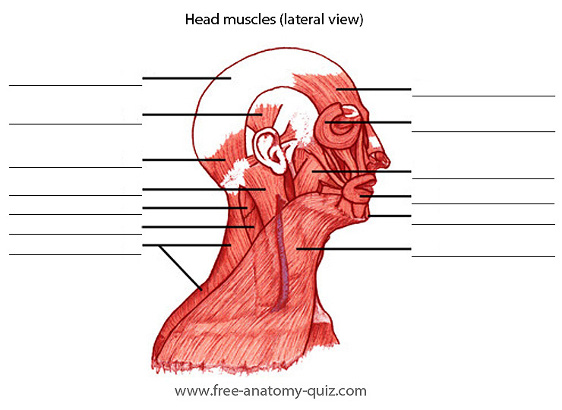 Free Anatomy Quiz - The Muscles of the Head and Neck (lateral view ...