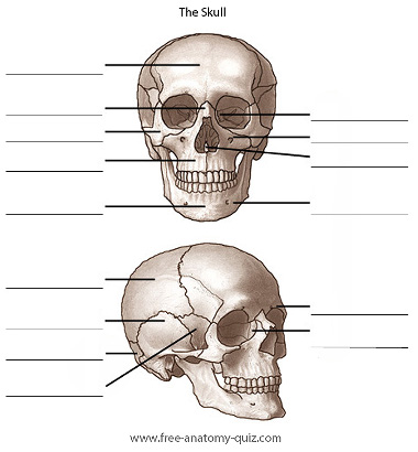 The Bones of the Skull Image