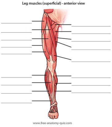 Free Anatomy Quiz - The Muscles of the Leg (anterior) Image
