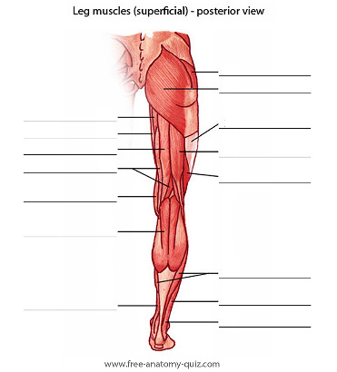 Free Anatomy Quiz - The Muscles of the Leg (posterior) Image