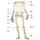 The appendicular skeleton, front view