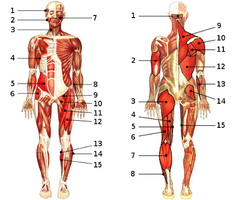 Free Anatomy Quiz - The Muscular System Section