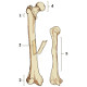 The anatomy of skeletal bones