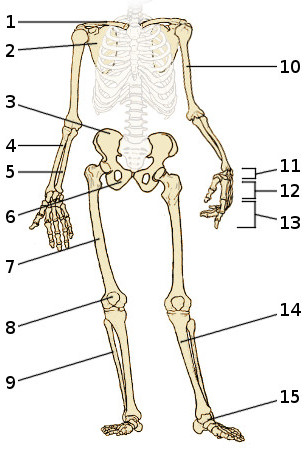 Free Anatomy Quiz - The Appendicular Skeleton, Quiz 1