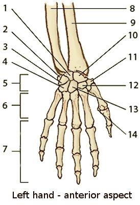 Arm Hand Bones on Unlabeled Skeleton Diagram