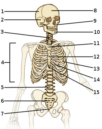Free anatomy quiz the axial skeleton quiz 1 the bones of the axial skeleton front view ccuart Images
