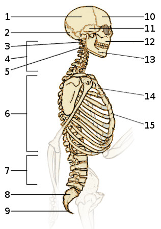 Free Anatomy Quiz - The Axial Skeleton, Quiz 2 - side view