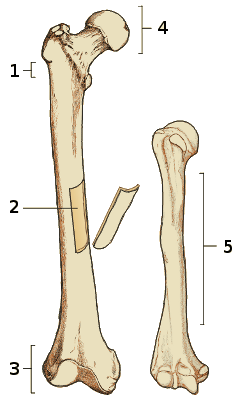 The anatomy of a long bone