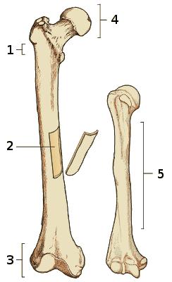 free anatomy quiz the anatomy of bones, internal and external, quiz 1