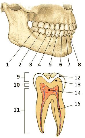 Free anatomy quiz the teeth quiz 1 the teeth ccuart Images