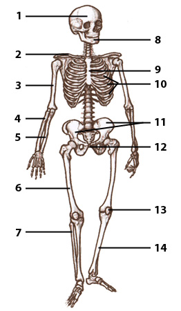 Bone anatomy test