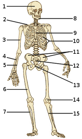 The bones of the human skeleton