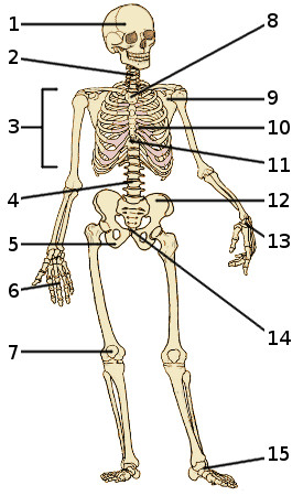 free anatomy quiz - the skeleton quiz 2, Skeleton