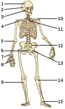 free anatomy quiz - the skeleton quiz 3, Skeleton