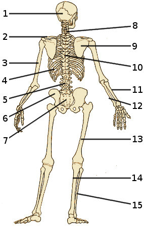 free anatomy quiz - the bones of the skeleton, back view, quiz 1, Skeleton
