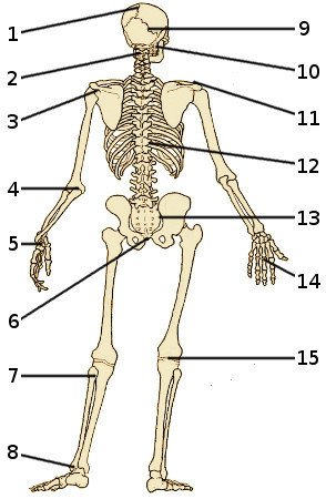 The bones of the human skeleton, rear view