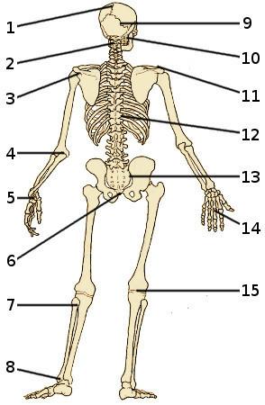 free anatomy quiz - the bones of the skeleton, back view, quiz 2, Skeleton