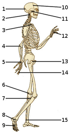 The bones of the human skeleton, side view