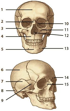 Anatomy bone labeling practice