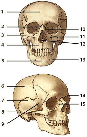 The bones of the human skull, front and lateral