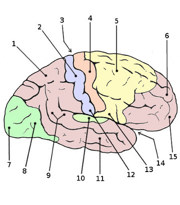 Free Anatomy Quiz - Anatomy of the Brain, Quiz 2 - The Cerebral Cortex
