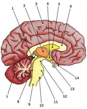 Free Anatomy Quiz Anatomy Of The Brain Quiz 1