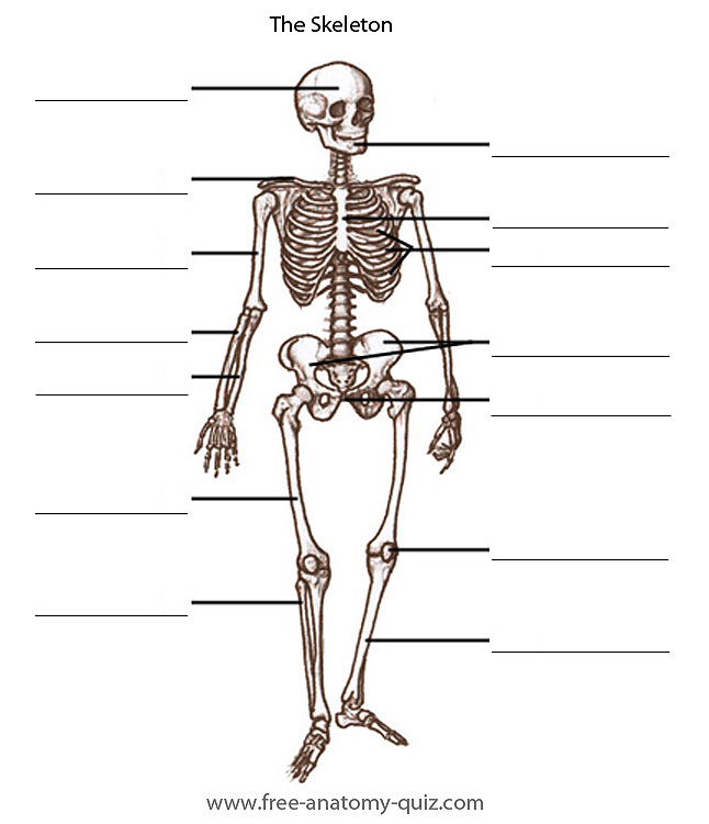 Free Anatomy Quiz The Bones Of The Skeleton Image