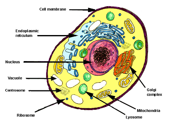 Free Anatomy Quiz Articles What Is A Cell