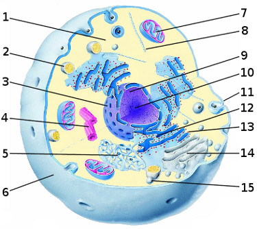 The internal anatomy of a typical eukaryotic cell