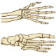 The bones of the hand and foot