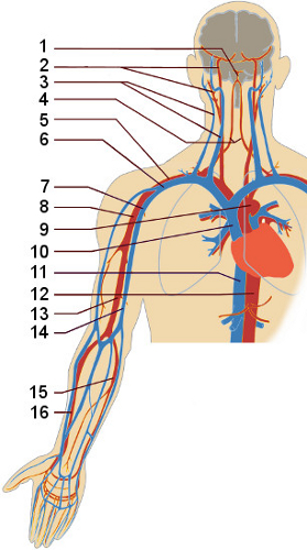 View of the circulatory system, upper body