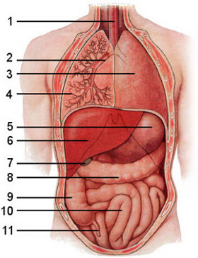 Free anatomy quiz the internal organs general quiz 1 image of the internal organs superficial ccuart Image collections