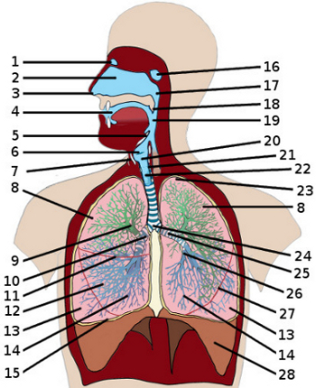 Free anatomy quiz the anatomy of the respiratory system quiz 3 the respiratory system ccuart Gallery