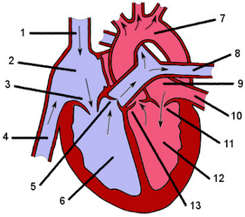 Free anatomy quiz anatomy of the heart quiz 1 anatomy of the heart ccuart Choice Image