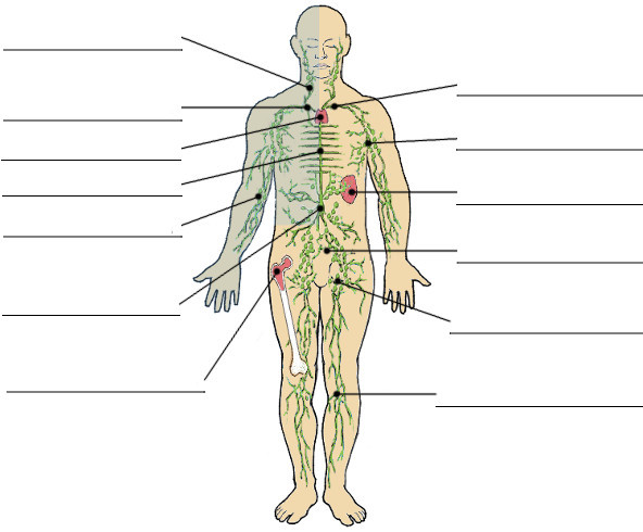 The Lymphatic System Image