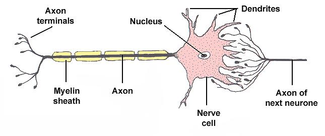 The anatomy of a neurone