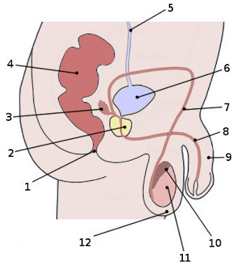 Free anatomy quiz the anatomy of the male reproductive system quiz 1 male reproductive system labelled ccuart Choice Image