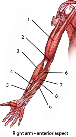 The muscles of the upper limb, anterior aspect