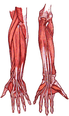 Free Anatomy Quiz - Muscles of the Upper Limb, Origins and ...