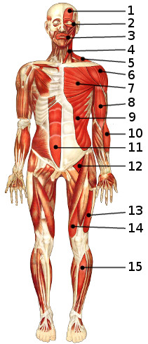 The muscles of the body, anterior view 1