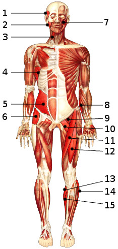 The muscles of the body, anterior view 2