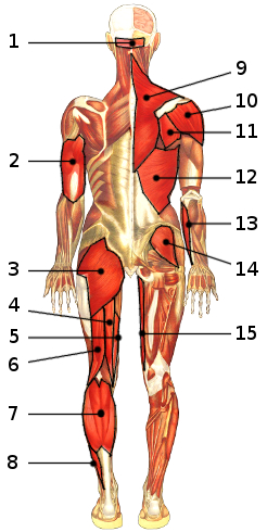 free anatomy quiz - muscles of the whole body, locations quiz 3, Muscles