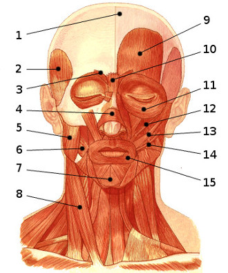 Free Anatomy Quiz - Muscles of the Face, Locations Quiz 1
